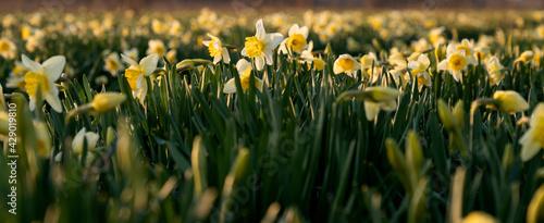 Fototapeta Żonkile. Uprawa kwiatów obraz