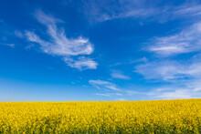Yellow Rapeseed Field Under Blue Summer Sky