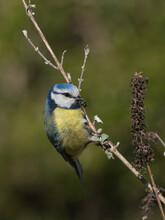 Cute Eurasian Blue Tit Bird Sitting On A Vertical Twig Looking To The Right In Beautiful Light With Blurred Green Background