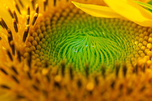 Macro Shot Of Sunflower Disk Floret