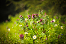Stinging Nettle Purple Flowers