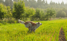 Japanese Akita Inu Dog Running In A Green Field During Summertime