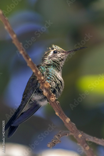 Fototapeta premium Vertical shot of a hummingbird perched on a tree branch