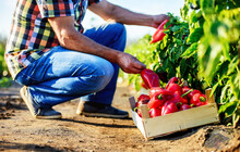 Gardening. Man Picking Paprika In The Garden, Close Up Photo. Agricultural Concept