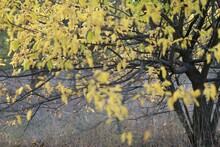 Close-up Of A Large Yellow Autumn Tree Above The Window