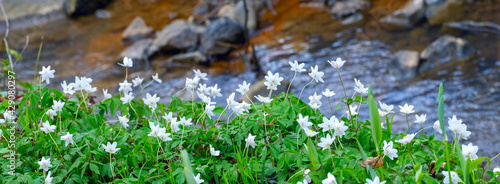 Fotografering White spring flowers anemones on the bank of the stream
