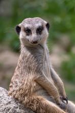 Meerkat On Guard Duty. Meerkat On The Lookout. Meerkat On Guard