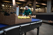 Working In Organic Food Factory Sorting Green Apples And Conveyer Belt Transporting To The Cold Storage.