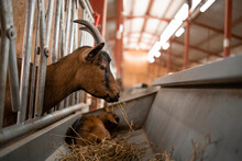 Close Up View Of Goat Domestic Animal Eating Food At Farmhouse.