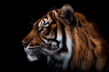 Front view of Sumatran tiger isolated on black background. Portrait of Sumatran tiger (Panthera tigris sumatrae)