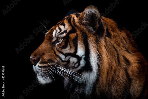 Fotografía Front view of Sumatran tiger isolated on black background