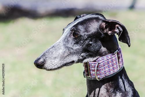 Valokuva Side profile of Spanish galgo (Spanish sighthound) with blurred background