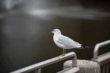 Shallow Depth Of Field Portrait Of Ring-billed Gull, (Larus Delawarensis), Standing On A Railing Over Water While Wintering In Port Orange, Florida.