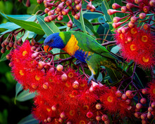 A Single Rainbow Lorikeet Feeding On An Australian Flowering Gum Tree.