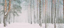 Snowy White Forest In Winter Frosty Day. Snowing In Winter Frost Woods. Snowy Weather. Winter Snowy Coniferous Forest. Blizzard In Windy Day. Panorama Panoramic View.