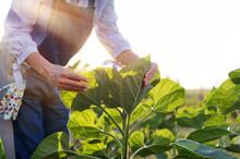 Farmer Checking Farm Plants Close-up Picture