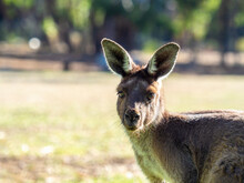Wallaby In Mount Lofty National Park, South Australia