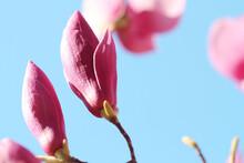 Pink Magnolia Flowers On Blue Sky Background
