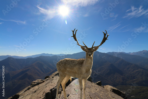 Fototapeta Majestic fallow deer standing on the mountaintop with the bright sun shining above in the sky obraz