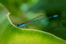 Blue Dragonfly On Green Leaf.