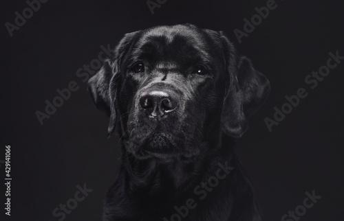 Obraz na plátně Head shot of a posing in dark background black retriever