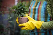 Close Up Of Woman Hands Holding Flowerpot.