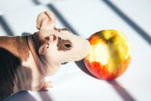Bald Guinea Pig Eating An Apple On A Light Background. Pet Close Up