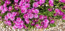 Violet Flower Delosperma Or Drosanthemum Growing Between Stones. Panorama.