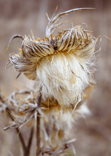 A Close-up Of Wild Thistle Flower Or Cirsium Vulgare With A Blurred Background. A Thorny Inflorescence With Fluffy Seeds.