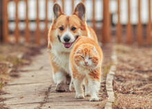 Red Country Cat And Corgi Dog Are Walking Down The Street In Spring Menacingly Pacing Each Other
