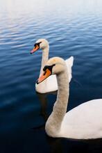 Closeup Shot Of White Swans On The Lake