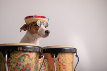 A Funny Dog In A Sombrero And Sunglasses Plays The Mini Bongo Drums. Jack Russell Terrier In A Straw Hat Next To A Traditional Ethnic Percussion Instrument
