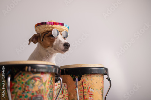 Leinwand Poster A funny dog in a sombrero and sunglasses plays the mini bongo drums