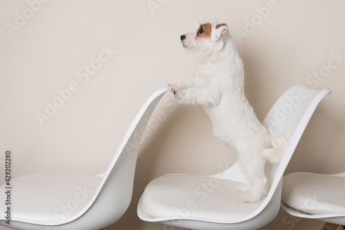 funny white puppy, Jack Russell Terrier, stands on its hind legs, and the front Fototapet