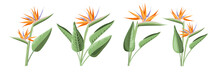 Set Of Differents Strelitzia Flowers On White Background.