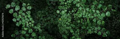 Fototapeta Dark deciduous forest, trees and green leaves close-up