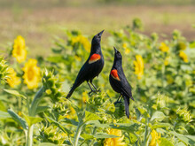 Pair Of Red Winged Blackbirds In A Field Of Yellow Sunflowers