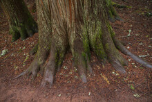 Base Of A Cedar Tree With Green Moss Growing On Tree Trunk