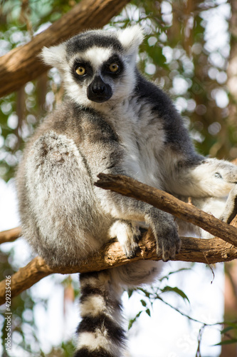 Fototapeta premium lemur on the canary islands