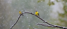 2 American Goldfinches On Branch In Snowfall