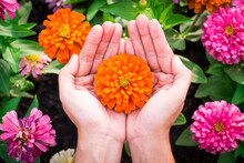 Woman Hand With A Zinnia Flower Blooming In The Garden Background.