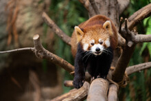 The Red Panda Lives In The Mountains From Southwest China To The Himalayas.