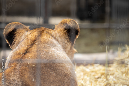 Fotomural The head of a predatory lioness with protruding ears filmed from behind through a metal mesh cage cruel treatment of animals deprivation of their captivity and protection of animals