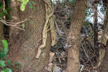 Large Ivy Root Cut At Base Of Tree Trunk In Woodland