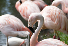 Pink Flamingo Closeup