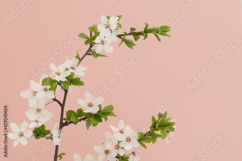 Białe kwiaty drzewa wiśni na gałązce, na różowym tle