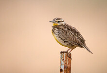 Western Meadowlark Against A Milky Rose Background At San Jacinto Wildlife Area