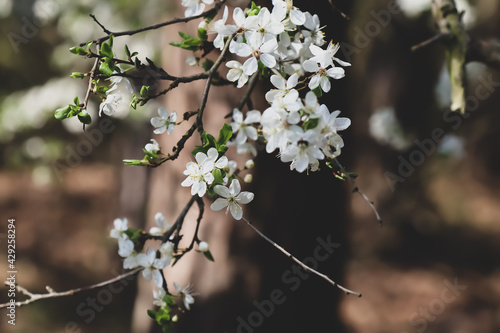Kwitnące wiosenne drzewo - fototapety na wymiar