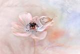 Fototapeta Kwiaty - Motyl na Zawilcu (Anemone) kompozycja pastelowa. White flower