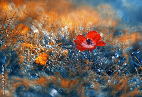 Zawilec (Anemone) kompozycja w trawach. Red flowers